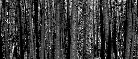 ealy_grandcanyonmorningforest_torturedforrest.jpg